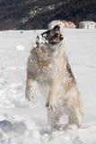 狗吃雪 免版税库存照片