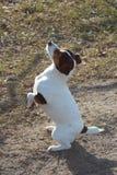 狗名为Noshpa 免版税图库摄影