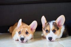 狗和他们的小狗眼睛 免版税图库摄影