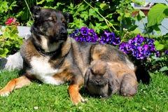 狗和兔宝宝 免版税库存图片