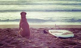 狗和冲浪板在日落 免版税库存图片