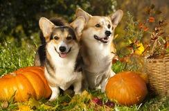 狗和南瓜 免版税库存图片