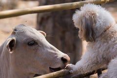 狗和母牛友谊 免版税库存照片