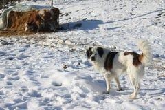 狗和母牛 图库摄影