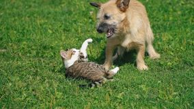 狗和猫的争斗 股票视频