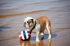 狗和球 库存图片