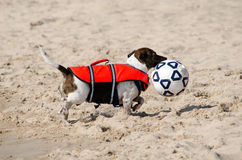 狗和足球: 我获了奖 库存图片
