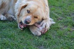 狗和骨头 图库摄影