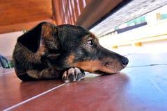 狗哀伤的扫视在Terace的 免版税库存照片