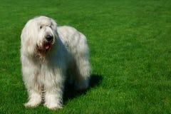 狗品种南俄国护羊狗 图库摄影