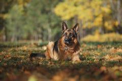 狗品种德国牧羊犬 免版税库存照片