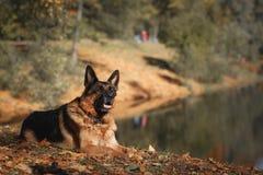 狗品种德国牧羊犬 库存照片