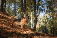 狗品种德国牧羊犬 图库摄影