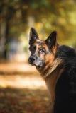 狗品种德国牧羊犬 免版税图库摄影