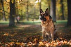 狗品种德国牧羊犬 免版税库存图片