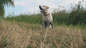 狗品种拉布拉多或金毛猎犬坐草由河和吠声 家畜训练室外在 影视素材