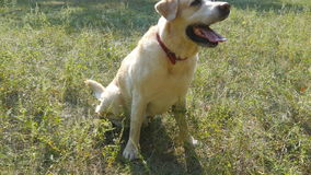 狗品种拉布拉多猎犬坐绿草和咆哮 家畜训练  关闭 股票录像