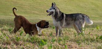狗品种拳击手 狗品种阿拉斯加的爱斯基摩狗 图库摄影