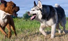 狗品种拳击手 狗品种阿拉斯加的爱斯基摩狗 库存照片