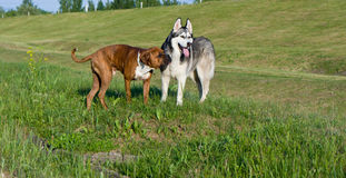 狗品种拳击手 狗品种阿拉斯加的爱斯基摩狗 免版税图库摄影