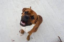 狗品种拳击手 库存照片