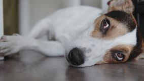 狗品种杰克罗素狗在地板放置并且睡着 关闭