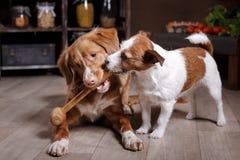 狗品种杰克罗素狗和狗新斯科舍在厨房里低头敲的猎犬,食物在桌上 免版税库存照片