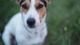狗品种杰克罗素狗嗅某事在天空中 股票视频