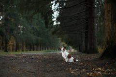 狗品种杰克罗素狗在自然走 库存照片