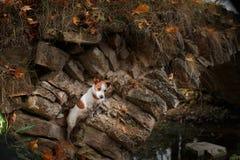 狗品种杰克罗素狗 免版税库存照片