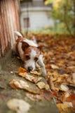 狗品种杰克罗素狗 图库摄影