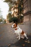 狗品种杰克罗素狗 库存照片