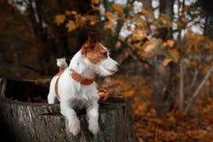 狗品种杰克罗素狗 免版税图库摄影