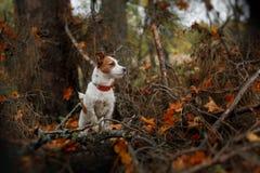 狗品种杰克罗素狗 免版税库存图片