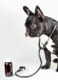 狗品种法国牛头犬 库存照片