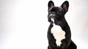 狗品种法国牛头犬 影视素材
