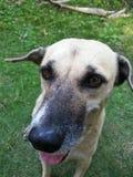 狗品种泰国。 免版税库存照片