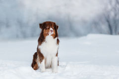 狗品种澳大利亚牧羊人,澳大利亚人, 免版税库存照片