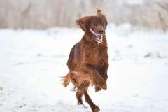 狗品种爱尔兰赤毛的塞特种猎狗 免版税库存照片
