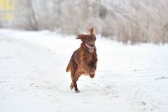 狗品种爱尔兰赤毛的塞特种猎狗 免版税库存图片