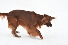 狗品种爱尔兰赤毛的塞特种猎狗 库存照片