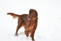 狗品种爱尔兰赤毛的塞特种猎狗 免版税图库摄影