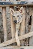狗品种猎狼犬 库存照片