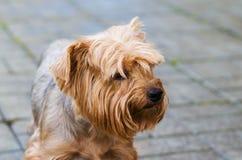 狗品种约克夏狗 库存图片