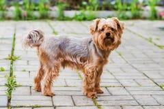 狗品种约克夏狗 免版税图库摄影