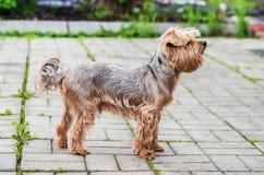 狗品种约克夏狗 免版税库存图片