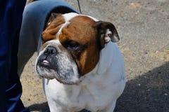 狗品种英国牛头犬 免版税图库摄影