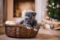 狗品种藤茎Corso小狗 免版税库存照片
