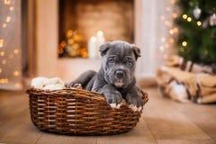 狗品种藤茎Corso小狗 库存图片