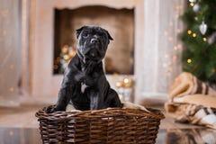 狗品种藤茎Corso小狗 库存照片